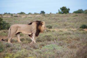 Löwe im Addo