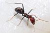 sm800px-meat_eater_ant_feeding_on_honey02.jpg