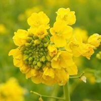 「田原街道 菜の花畑」と「加治の菜の花畑」