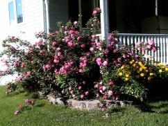 Grandmas Rose bush now.4jpg