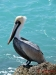 Brown Pelican, Boca Raton, Florida
