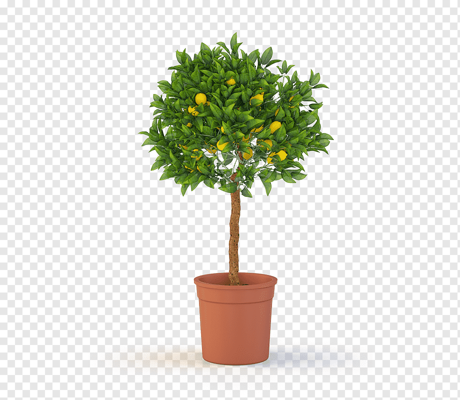 tree topiary weeping fig container