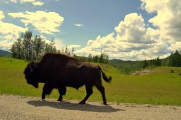 Wood Bison. Alaska Highway, Yukon