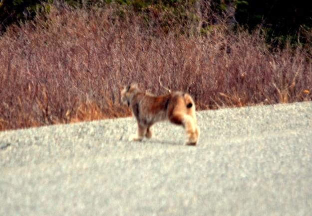 Lynx, near Carcross, Yukon.