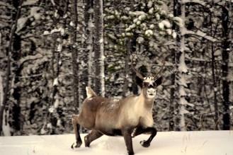 Caribou along Alaska Highway, Yukon