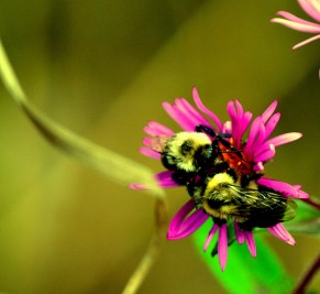 Bumble bees.