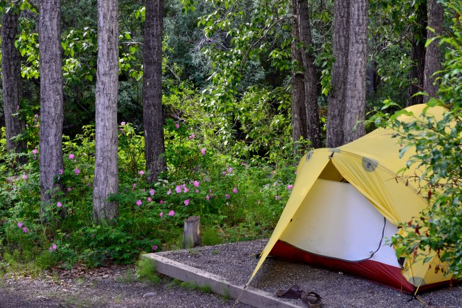 Camped beside wild prickly rose bushes