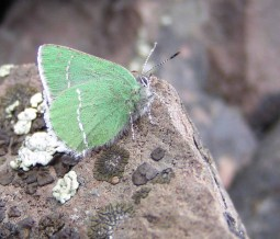 Schnebly Hairstreak