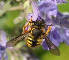 Wool Carder Bee Photo from University of California at Davis