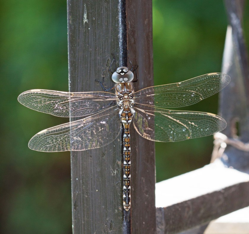 Dragonfly at our Patio - June 2019