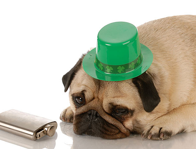 St. Patrick's Day dogs, drunk pug