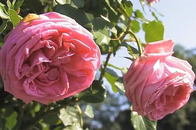 Roses What Climb Climbing Do Need