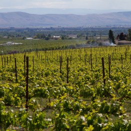 Vineyard in Zillah, photo by Jeff Wilcox via Flickr