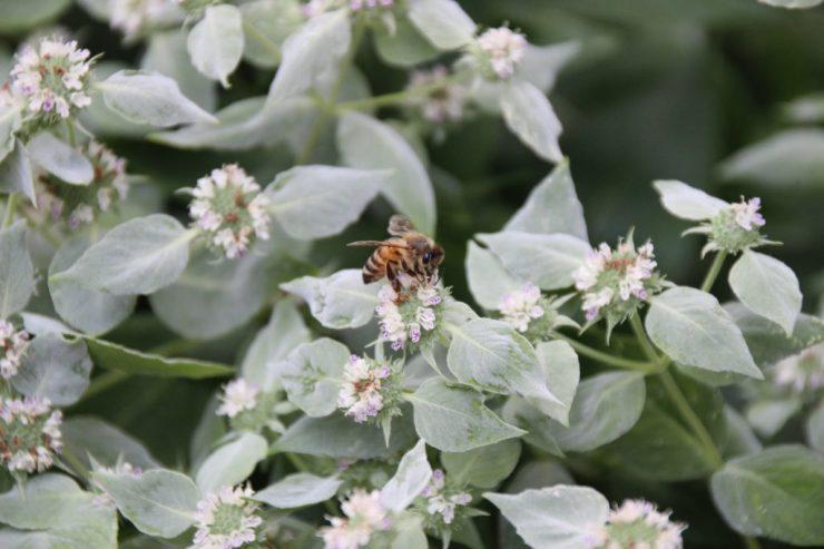 Honey bee on mountain mint