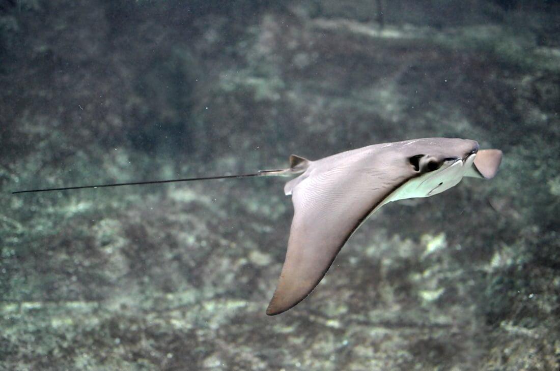Cownose Ray at the New England Aquarium