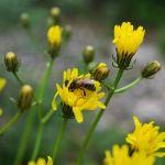 Albinele si flora spontana din Marea Britanie prospera datorita coronavirusului