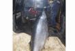 اصطاد في عكار سمكة تزن حوالي 350 كلغ… ما نوعها؟ (صور)