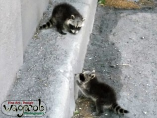 Baby raccoons on my way to the ride.