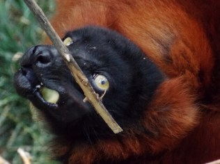 Feeding Time - Red Ruffed Lemur, Henry Doorly Zoo, Omaha, NE.