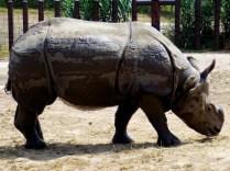 Indian Rhino, Henry Doorly Zoo, Omaha, NE.