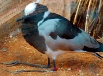 Black Smith Plover, Henry Doorly Zoo, Omaha, NE.