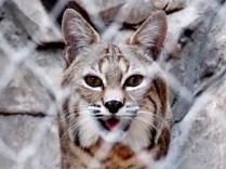 Bob-cat, Henry Doorly Zoo, Omaha, NE.