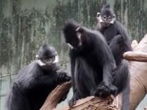 Francois Langurs, Henry Doorly Zoo, Omaha, NE.