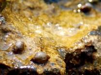 Snails, Devonian Gorge, Corralville, IA