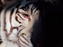 White Siberian Tiger, Henry Doorly Zoo, Omaha, NE.