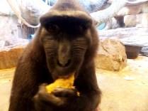 Feeding Time - Macaque, Henry Doorly Zoo, Omaha, NE.