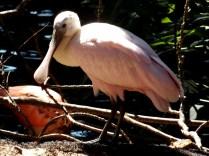 Roseate Spoon-bill, Henry Doorly Zoo, Omaha, NE.