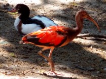 Young Scarlet Ibis, Henry Doorly Zoo, Omaha, NE.
