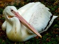 Pelican, Henry Doorly Zoo, Omaha, NE.