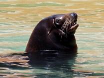 Papa Sea-Lion, Henry Doorly Zoo, Omaha, NE.