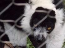 Black and White Ruffed Lemur, Henry Doorly Zoo, Omaha, NE.