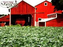 Peanuts and barn.
