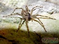 Un araigné pris en mode <>.
