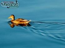 Une canard sur l'eau.