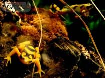 Panamanian Golden Frog, Detroit Zoo, Copyright Robert Hartwig 2013