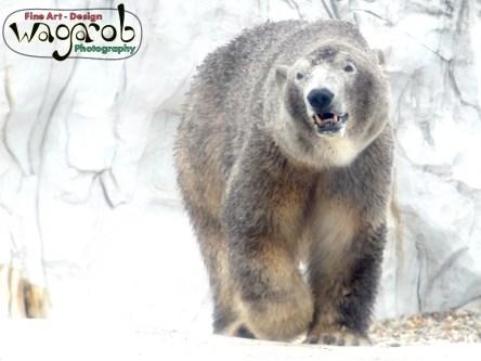 Polar Bear, Detroit Zoo, Copyright Robert Hartwig 2013
