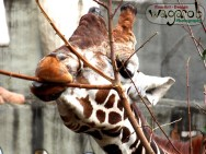 Giraffe, Detroit Zoo, Copyright Robert Hartwig 2013