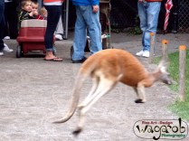 """Children observe as a Red Kangaroo crosses the """"Australian Outback"""" path, Detroit Zoo, Copyright Robert Hartwig 2013"""