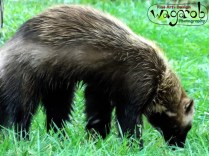 Sparty the Wolverine, Detroit Zoo, Copyright Robert Hartwig 2013