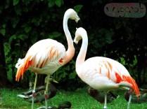 Chilean Flamingos, Detroit Zoo, Copyright Robert Hartwig 2013