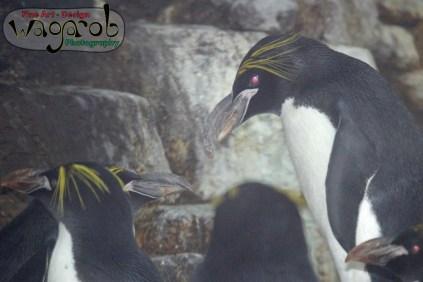 Feeding Time for Penguins at the Detroit Zoo - Copyright Robert Hartwig 2013, wagarob.wordpress.com
