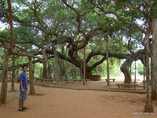 The Banyan Tree of Auroville