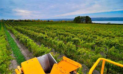 Harvester in the vineyard