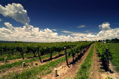 Vineyard blue skies