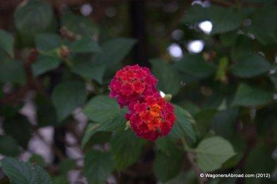 Lantana December Flowers in Almuñécar, Spain