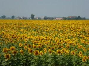 Sunflowers Italy